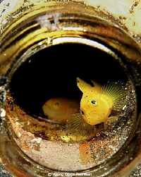 Yellow Gobies in the bottle .. Hope you willl enjoy it .. by Agung Djaja Rachwan 